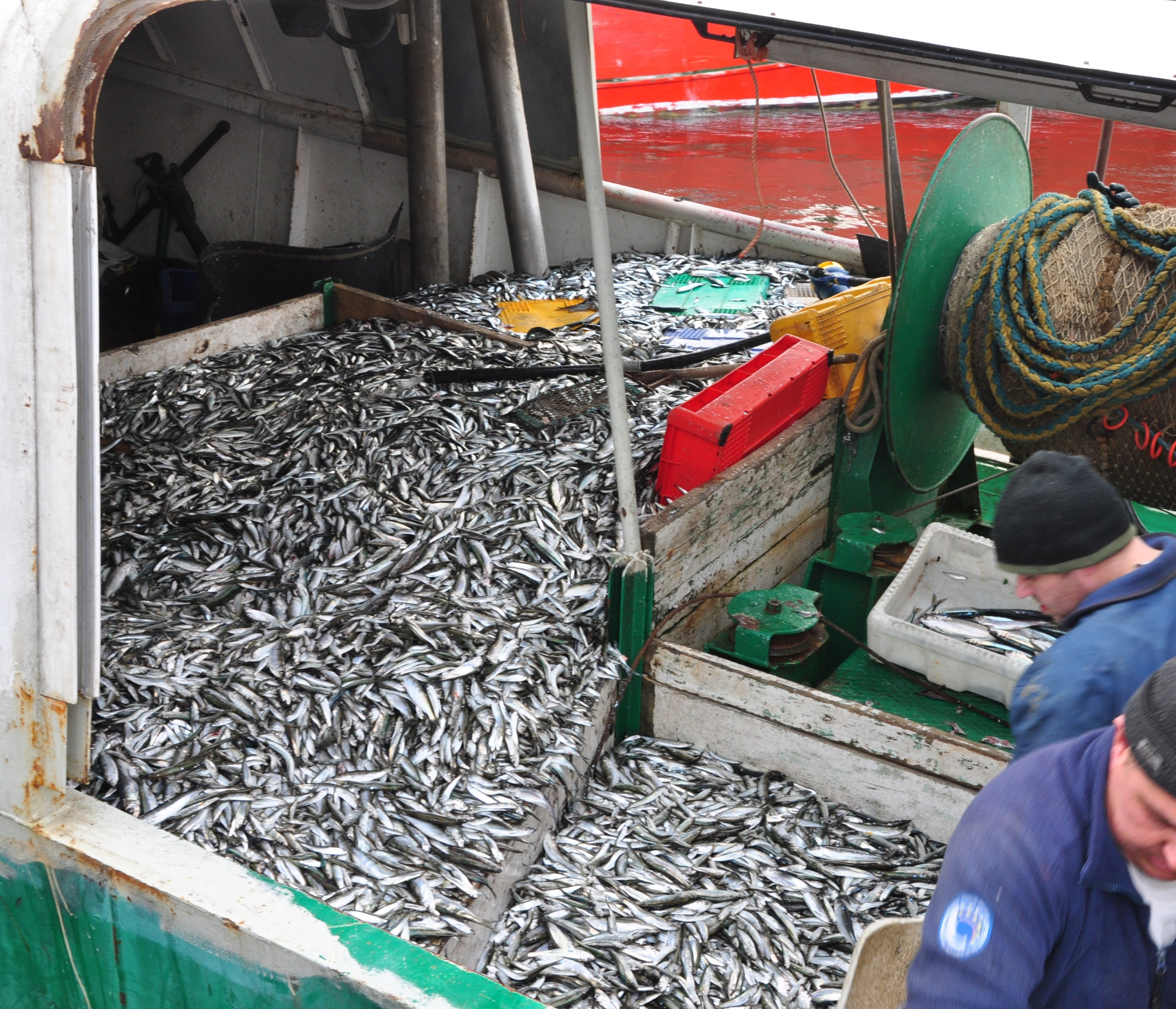 Sprat on board a trawler in the port of Hei, Poland in the Southern Baltic.