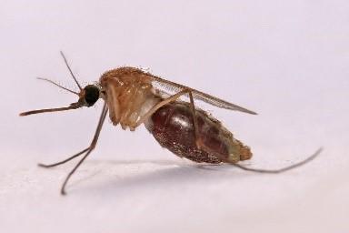 Modified Mosquito