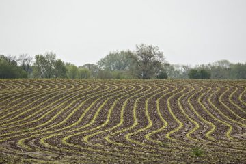Corn grows in a field outside Princeton, Illinois, U.S., on Tuesday, May 2, 2017. U.S. inventory of corn and wheat will drop in the 2017-2018 year and soy bean supply will rise from the prior season, while the gain is smaller than analysts expected. Photographer: Daniel Acker/Bloomberg